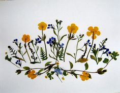pressed flowers | Plants and Pressed Flowers – Buttercups