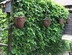 Bean wall, melon patch, strawberries, basil and a way to keep corn from toppling over in storms