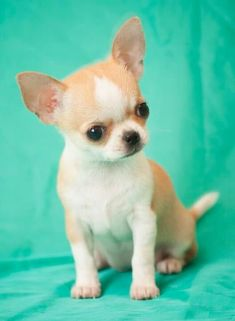Chihuahua's are good for no other reason but to LOVE!!! #chihuahua