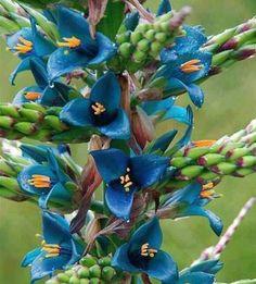 Nadir görülen ve koruma altında olan Puya çiçeği...