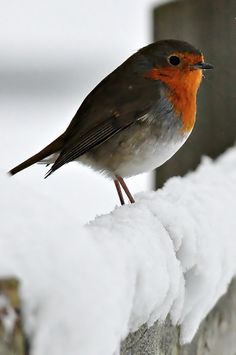 The Christmas Robin ... Bob, bob, bobbin' along.