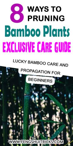 pruning bamboo in pots does bamboo regrow when cut pruning clumping bamboo topping bamboo thinning bamboo legging up bamboo how to cut bamboo can you cut bamboo from the bottom Bamboo In Pots, Bamboo Plants, Feng Shui Lucky Bamboo, Lucky Bamboo Care, Clumping Bamboo, Chinese Culture