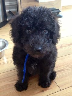 Morris- the Bedlington Terrier x Toy Poodle. The best dog in the world! Clever, patient, well behaved and so loving!