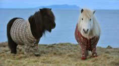 Shetland ponies in sweaters, I want one! @Emily Gillinghammer