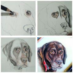 Step by step coloured pencil portrait, Chocolate Labrador Retriever by Hina Pet Portraits