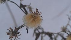 Gorgeous weed Weed, Dandelion, Nature, Flowers, Plants, Naturaleza, Dandelions, Marijuana Plants, Plant