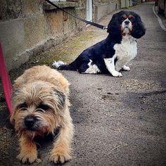 The posse guard the village shop  #alfborder #borderterrier #btposse #ultimateborder #dog #hound #pooch #puppy #ourshop  #somerset #hintonstgeorge