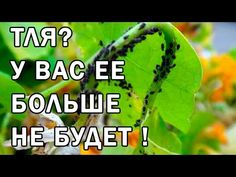 Как избавиться от тли на огороде - YouTube Small Farm, Type 4, Agriculture, Youtube, Garden Design, Health Fitness, Home And Garden, Soda, Plants