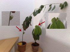 Eine neue, überarbeitete Anzucht- und Pflegeanleitung zur Avocado ist hier verfügbar. Wer schonmal eine Avocadopflanze aus einem Avocadokern zog, wird wissen, wie träge diese Pflanzen sind, wenn es...