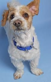 Petango.com – Meet Winston, a 2 years Terrier, Jack Russell / Shih Tzu available for adoption in WOODINVILLE, WA  Spunky, active, and full of life... this goofy little guy is Winston! He is a sixteen pound mixed breed that is thought to be a Jack Russell Terrier/Shih Tzu mix and has a darling curly coat. He is about two years in age and was originally found as a stray over in the Yakima area. Winston gets along well with other dogs but has not yet lived with cats...