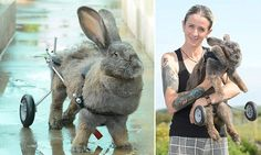 Bunny hop? Now I can do wheelies! Rabbit uses specially adapted wheelchair to get around after her hips collapsed Melanie James created a specially-designed wheelchair for rabbit Bertha Bertha is now enjoying a new lease of life in Bank Mill, Cumbria