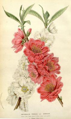 v.10 (1854-55) - Flore des serres et des jardins de l'Europe - Biodiversity Heritage Library