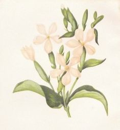 Common Soapwort Antique Botanical Print. Antique Botanical print by Anne Pratt titled Common Soapwort. Print is a chromolithographic print with the colours being quite vibrant. #antiques #flowers #victorian Jack B, Gallery Website, Vintage Botanical Prints, Antique Maps, See Picture, Natural History, Prints For Sale, Illustrators, Things That Bounce