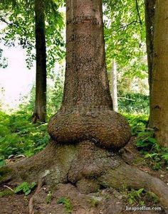This hard wood tree must have be grown from a penal implant instead of a seedling.