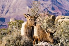 Photograph Wapiti by James Marvin Phelps on 500px