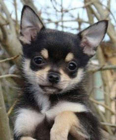 Lovely little Chi Chi xxxx Yuppypup.co.uk provides the fashion conscious with…