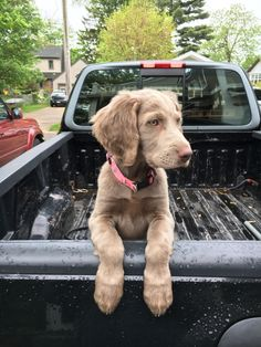 Lucy, the long haired Weimaraner. Cute Baby Dogs, Cute Dogs And Puppies, I Love Dogs, Pet Dogs, Dog Cat, Doggies, Weimaraner Puppies, Spaniel Puppies, Cute Little Animals
