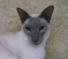 my handsome Lilac point Siamese lad
