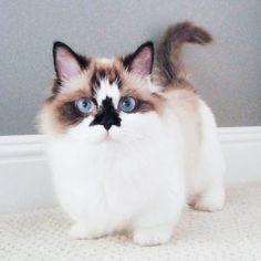 【情報】優雅的藍眼睛,可愛的三角黑鼻~貓界名伶就是我 @幸福寵物交流區 哈啦板 - 巴哈姆特