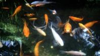 How to Maintain a Backyard Goldfish Pond