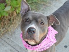 TO BE DESTROYED - 8/20/14 Brooklyn Center -P  My name is FAITH. My Animal ID # is A1010418. I am a female gray pit bull mix. The shelter thinks I am about 3 YEARS old.  I came in the shelter as a STRAY on 08/13/2014 from NY 11234, owner surrender reason stated was STRAY.  https://www.facebook.com/Urgentdeathrowdogs/photos/a.611290788883804.1073741851.152876678058553/854943887851825/?type=1