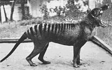 "The last known thylacine photographed at Beaumaris Zoo in 1933. A scrotal sac is not visible in this or any other of the photos or film taken, leading to the supposition that ""Benjamin"" was a female, but the existence of a scrotal pouch in the thylacine makes it impossible to be certain."