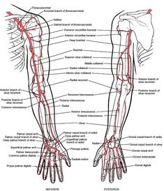 Physiology of adult Homo sapiens - Systemic blood and lymph circulation (angiology) Human Anatomy Picture, Human Body Anatomy, Human Anatomy And Physiology, Muscle Anatomy, Blood Vessels Anatomy, Upper Limb Anatomy, Arteries Anatomy, Anatomy Flashcards, Medicine Notes