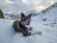 mountain day with naoko akita inu  #snow #france #puppy #naokoakitainu #dog #paws #hike #rando #chien #pawsfriend #akitainu #akita #akitainudogs #akitainudog #akitainucute #mountain #japaneseakitainu #akitadogs #akitasofinstagram #akitapuppy #akitaworld #akitalovers #akitalife #akitapics  #akita_inu #animal #animals #dogs #cute #doglover #akitacutepuppy #dog_features Akita Puppies, Cute Puppies, Japanese Akita, Naoko, Dog Paws, Inu, Dog Lovers, Husky, To Go