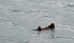 Sea Otter - Kenai Peninsula, Alaska - see our travel blog: www.UnhookNow.com