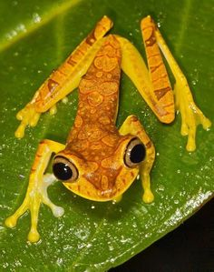 This cute little thing is the frog symbol of Bilsa reserve in Ecuador ('Hypsiboas picturatus'). It is found in the woods of Ecuador to Colombia. Easily known for golden color and eyes. Funny Frogs, Cute Frogs, Beautiful Creatures, Animals Beautiful, Cute Animals, Reptiles And Amphibians, Mammals, Amazing Frog, Paludarium