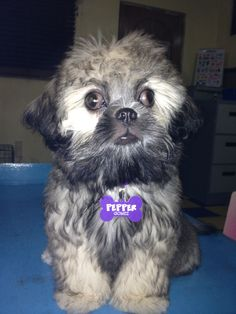 I am Pepper Gomez Shih Tzu, Barbie, Stuffed Peppers, Dogs, Cute, Animals, Animais, Animales, Animaux