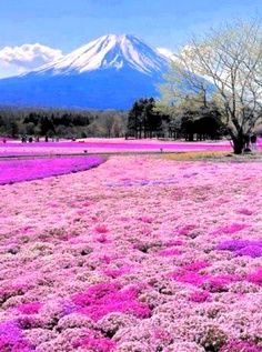 Mount Fuji and Phlox in bloom, Fujinomiya, Shizuoka, Japan