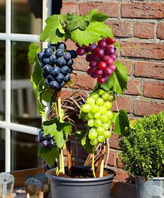 50 pcs/bag grape seeds Miniature Grape Vine Seeds Organic fruit seeds Succulent plants easy to grow plant for garden #>=#>=#>=#>=#> Click on the pin to check out discount price, color, size, shipping, etc. Save and like it!