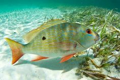 Mutton snapper. http://www.fishinglondon.co.uk/ Fishing London, Fishing Lessons and tackle hire. Fishing Guide and organisers.