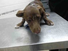 This DOG - ID#A463618 I am a female, chocolate and white Chihuahua - Smooth Coated. The shelter staff think I am about 4 months old. I have been at the shelter since Jul 11, 2016. Harris County Public Health and Environmental Services. https://www.facebook.com/harriscountyanimalshelterpetshouston/videos/1182951078435355/
