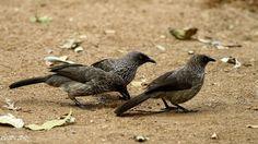 Arrow-marked Babbler (Turdoides jardineii)