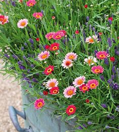 Argyranthemum 'Cherry Red'