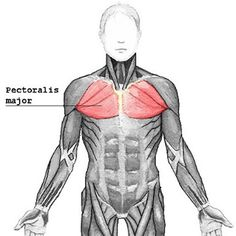 Muscles connecting The Upper Limb To The Thoracic Wall
