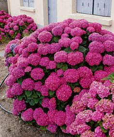 Blooming Flowers, All Flowers, Amazing Flowers, Beautiful Flowers, Hortensia Hydrangea, Hydrangea Garden, Hydrangea Flower, Hydrangea Landscaping, Front Garden Landscape