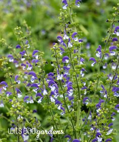 SALVIA Madeline is a bi-color salvia that freely flowers.  Cut back when bloom has faded for a second bloom.