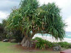 When I have my home by the coast, these are the trees I will be planting! Love, love, love Pandanus Trees!