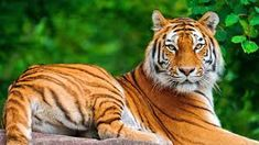 Tiger is fastest animal on earth. Tiger has ability to catch his prey very fast. Tiger legs help him to run him fast. They are exceptionally hazardous Tigre Animal, Especie Animal, Animal Facts, Cat Facts, Wild Animal Wallpaper, Tiger Wallpaper, Hd Wallpaper, Disney Wallpaper, Nature Wallpaper