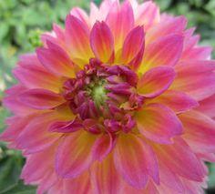 Dahlinova Hypnotica® Rose Bicolor Dahlia Dahlia x Hypnotica Rose Bicolor   Berry Nurseries