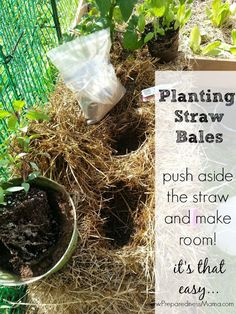 Once the conditioning is done planting in straw bales is easy | PreparednessMama
