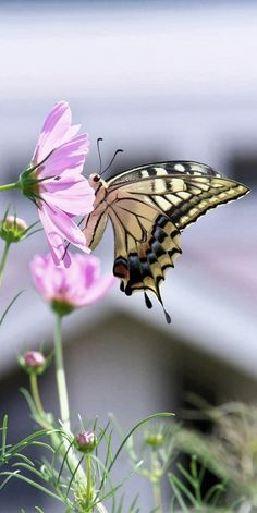 ◑≈◑≈◑≈◑ Butterfly ◑≈◑≈◑≈◑ Madame Butterfly, Butterfly Kisses, Butterfly Flowers, Beautiful Flowers Pictures, Beautiful Butterflies, Animals Beautiful, Butterfly Pictures, Flower Pictures, Bokeh