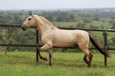 cavalo campolina - Pesquisa Google