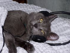 """A recent study confirms what we've all been fearing: cats probably don't like our music. Cats actually prefer species-specific music """"that resembles the te Music Do, Music For You, Funny News Stories, Dancing Cat, Cat Behavior, Like Animals, Christmas Animals, Cute Photos, Cat Memes"""