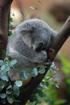 Pequeño Koala durmiendo en un árbol de Eucalyptus ñ_ñ