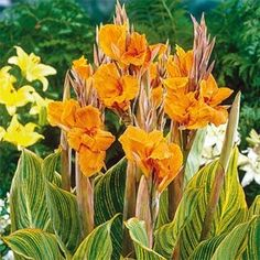 Make your garden look gorgeous and colorful with the addition of this excellent Breck's Pretoria Giant Variegated Canna Lily Bulbs with Orange Flowers. Summer Bulbs, Spring Bulbs, Spring Blooms, Perennial Bulbs, Sun Perennials, Big Flowers, Orange Flowers, Dutch Gardens, Front Gardens