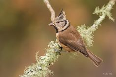 Herrerillo capuchino - Lophophanes cristatus | Flickr - Photo Sharing!